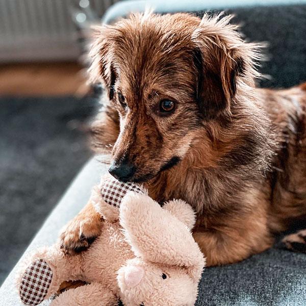 Glücklich vermittelter brauner Hund liegt in seinem neuen Zuhause auf einem grauen Sofa und hält ein helles Kuscheltier in seinen Pfoten.