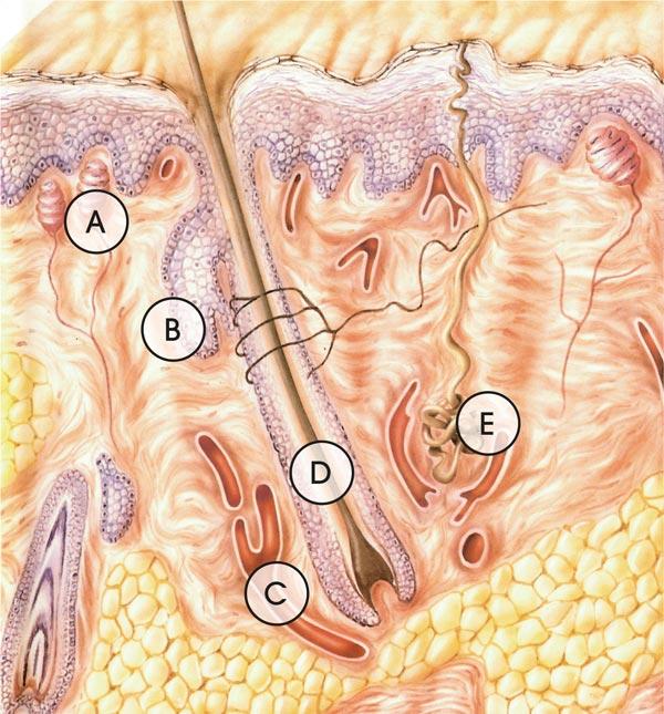 Schemazeichnung der menschlichen Haut im Querschnitt mit Darstellung der Tastkörper, Talgdrüsen, Blutgefäßen, Schweißdrüsen und Haarwurzel eingebettet in Epidermis, Dermis und Subcutis