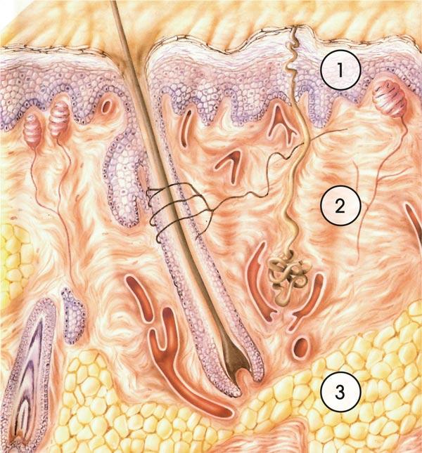 Schemazeichnung der menschlichen Haut im Querschnitt mit Darstellung der drei Schichten Epidermis, Dermis und Subcutis